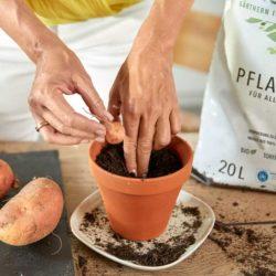 Regrow Süßkartoffel