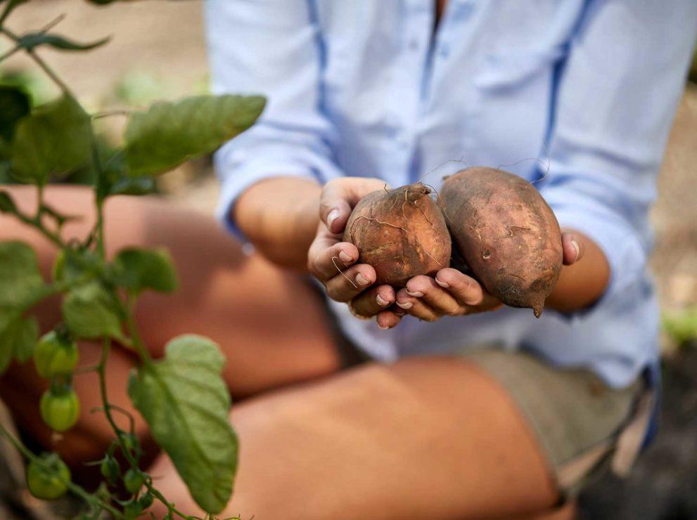 Süßkartoffel Regrow
